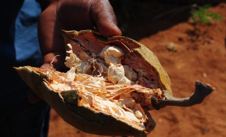 The fruit of the baobab is a superfood from which a powder with great health benefits is extracted.
